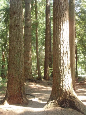 The forests of Delbrook, North Vancouver